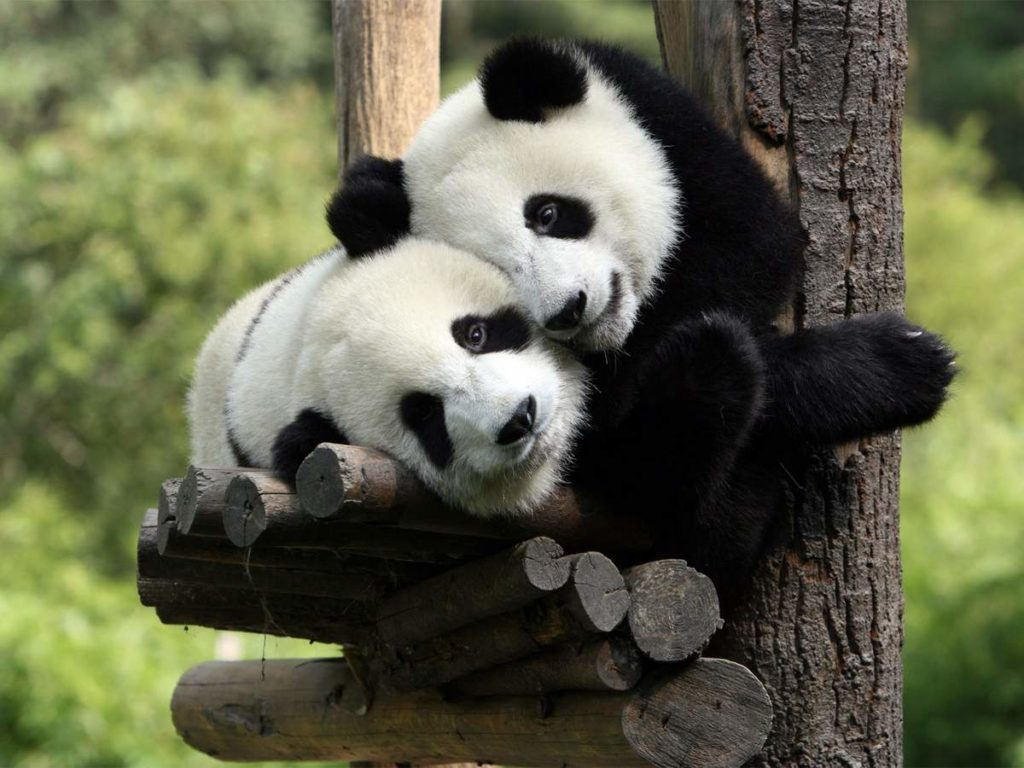 Влюбленные панды